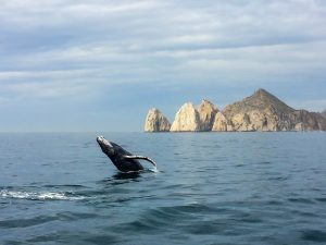 Humpback whale-Cabo