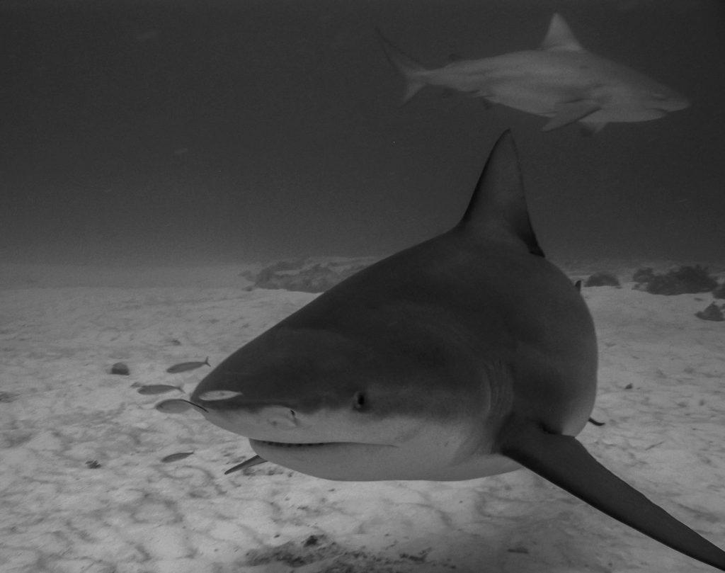 cabo pulmo bull sharks