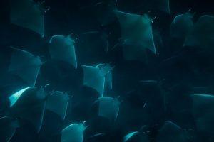 mobula rays-3