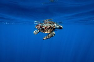 olive ridley sea turtle 2