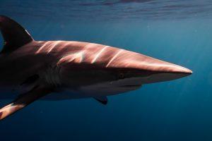 silky shark1