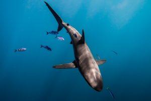 silky shark2