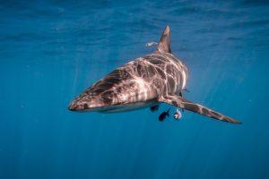 silky shark3