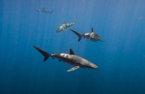 silky sharks2