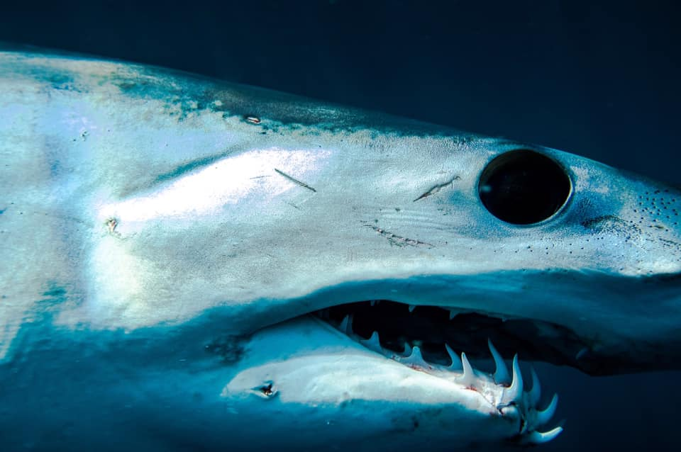 face to face with a mako shark