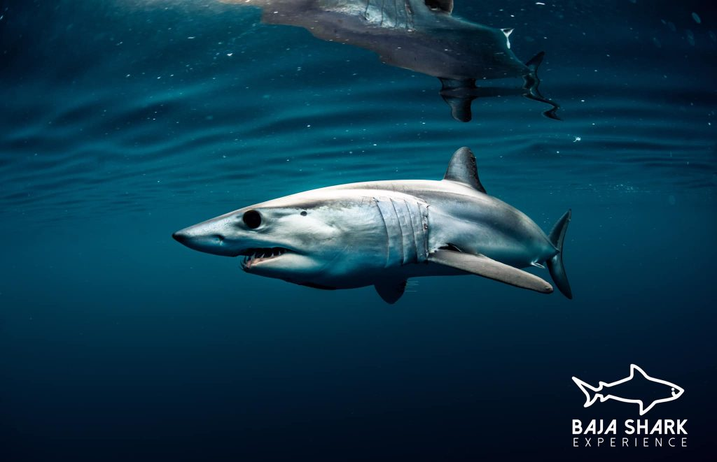 Meet the Mako shark