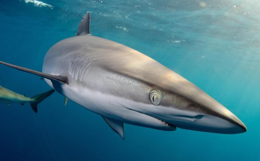 Interesting Facts about the Silky Sharks