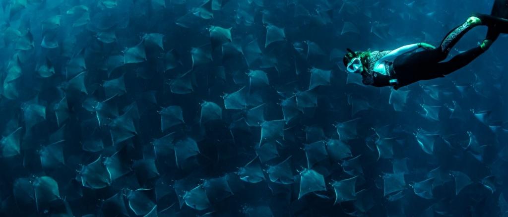 snorkel with Mobula rays