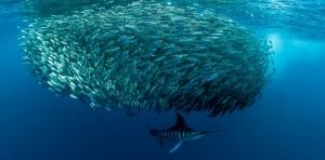 Mexican sardine run