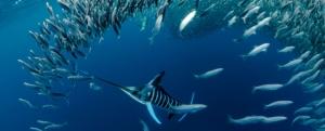 striped marlin in sardine run