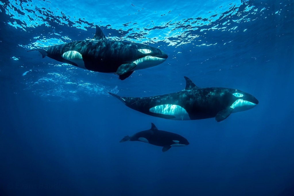 Orcas up close and personal