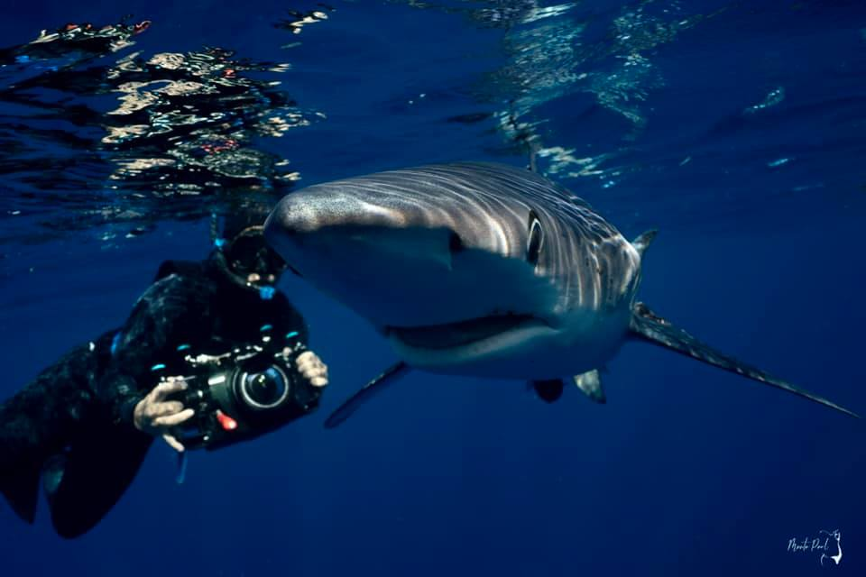 swimming with blue sharks
