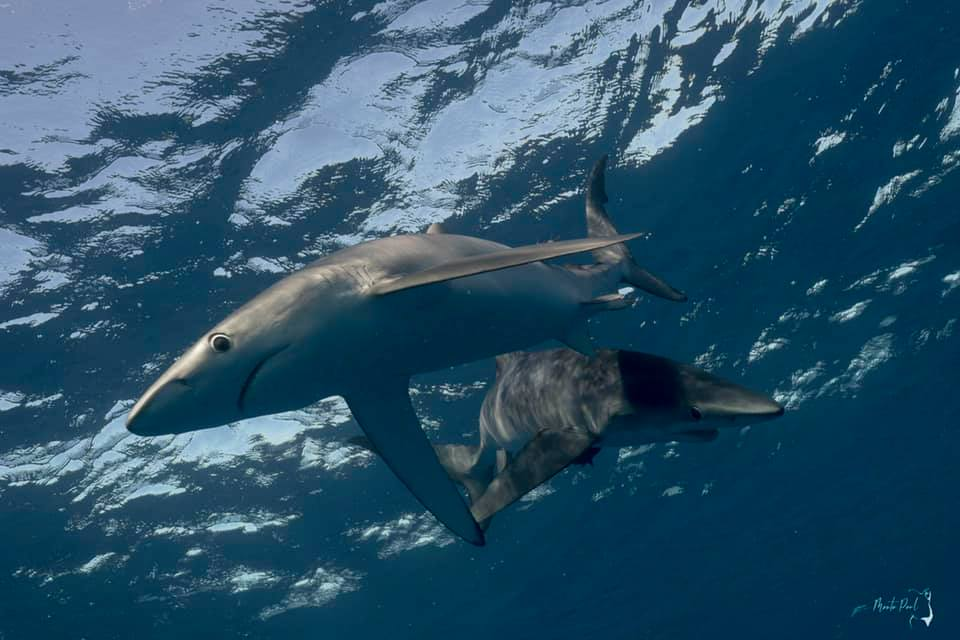 blue sharks in Baja California
