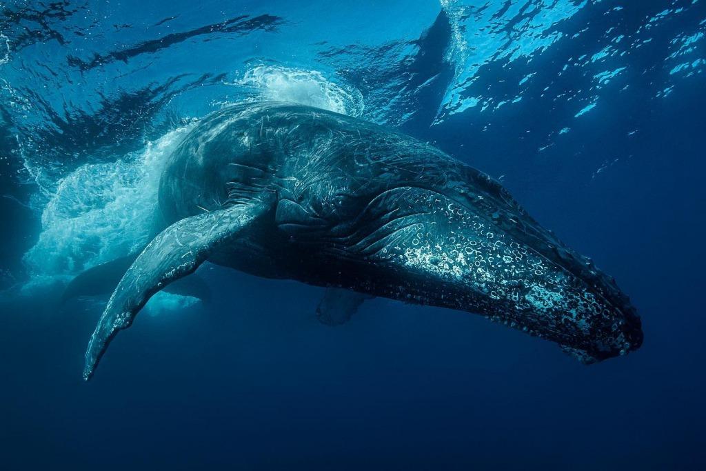 Fascinating behavior of humpback whales