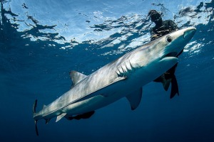 cageless shark diving in Cabo