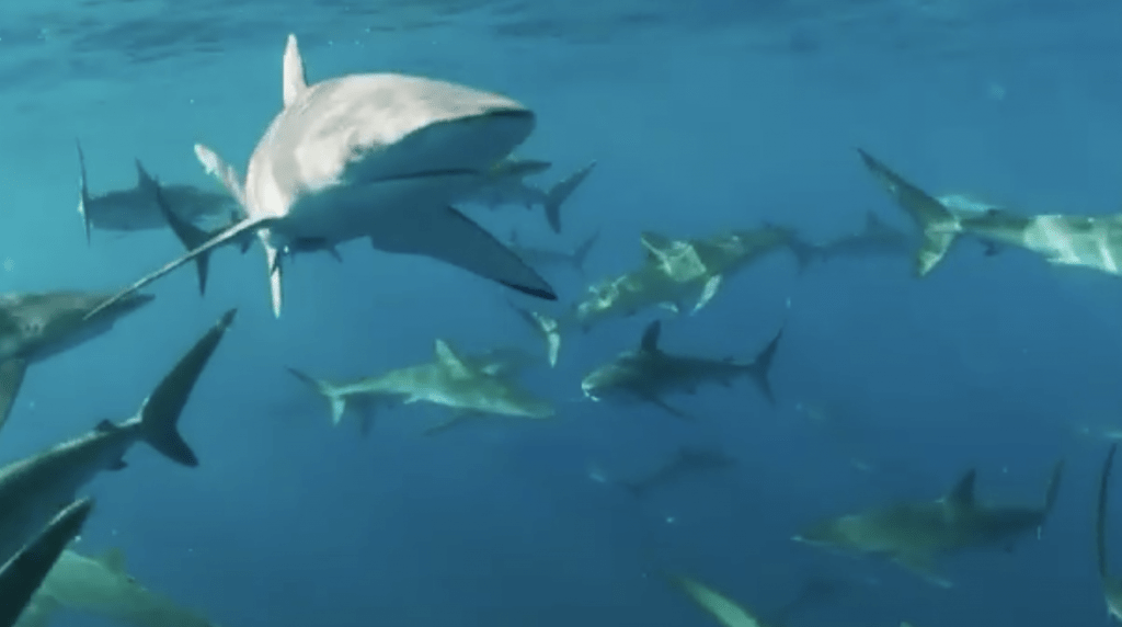 Awesome shark congregation