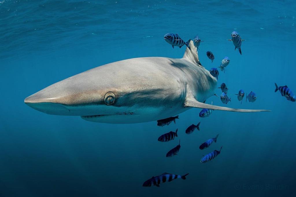 Silky shark in Baja