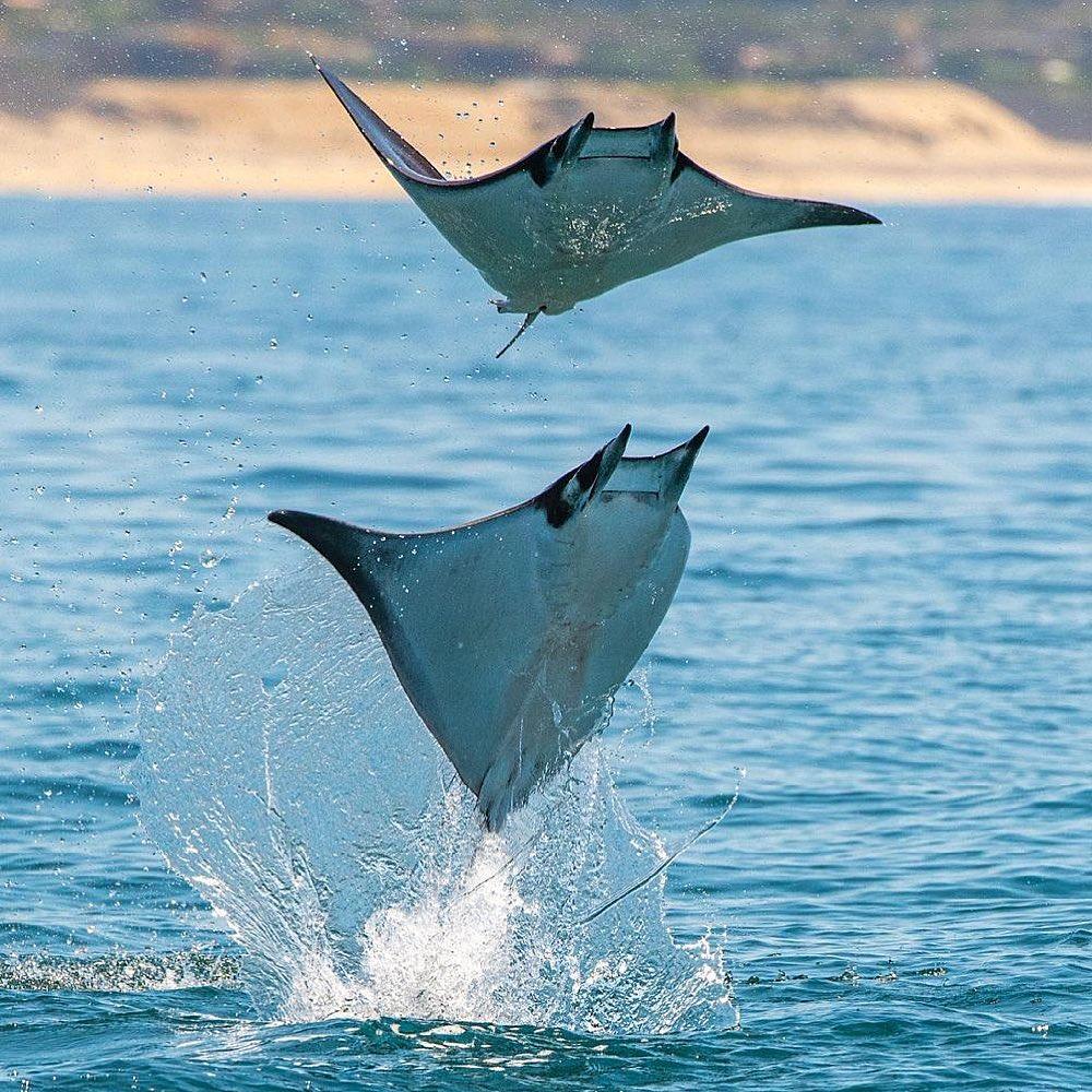 Mobula rays are the ocean's graceful giants