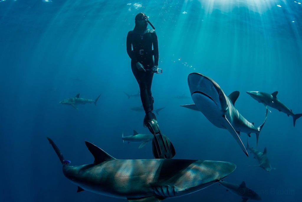 swimming with silky sharks